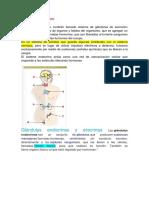 Sistema Endocrino-Victoria Sanchez