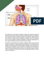 Es El Sistema Respiratoria