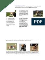 Beagle Característica1