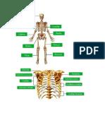 Imágenes del El Sistema Oseo Humano