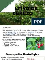 Cultivo de Cerezo