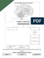 El Cerebro y Sus Partes