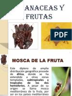 Mosca de La Fruta Solanaceas