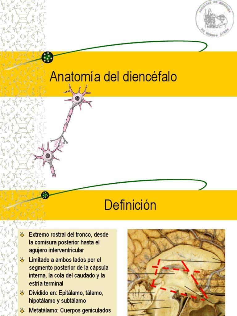 Vistoso Anatomía Del Diencéfalo Adorno - Imágenes de Anatomía Humana ...