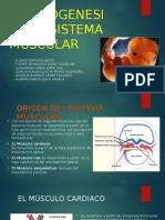 Embriogenesis Del Sistema Muscular-Aumento