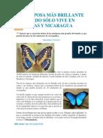 La Mariposa Más Brillante Del Mundo Sólo Vive en Honduras y Nicaragua