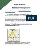 ESPERMATOGÉNESIS guia.pdf