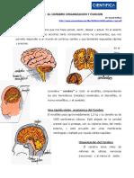 lectura_cerebro_organizacion_y_funciones.pdf