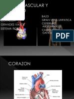 TEMA 3 - Sistema Cardiovascular y Linfático (1)