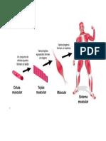 Sistema muscular.docx
