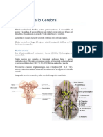 Tema 11- 1 Parte-Tallo Cerebral