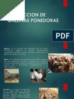 Aves Ponedoras