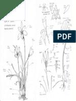 Plant Study Rain Lily