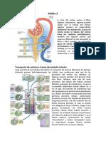 FISIOLOGÍA DEL SISTEMA RENAL 2.pdf