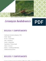 Liriomyza Huidobrensis Final