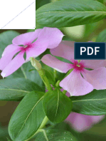 "Use of Ornamental Plant, ""Vinca"" (Vinca rosea L.) for Remediation of Lead-contaminated soil"