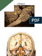 3 Cerebro y Cerebelo
