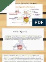 Proceso Digestivo Humano