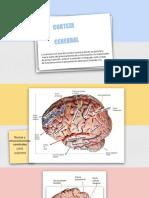 Corteza Cerebral Anatomia