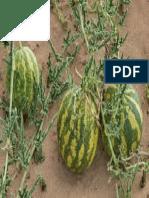 Colocynthis Plant 3 (1)