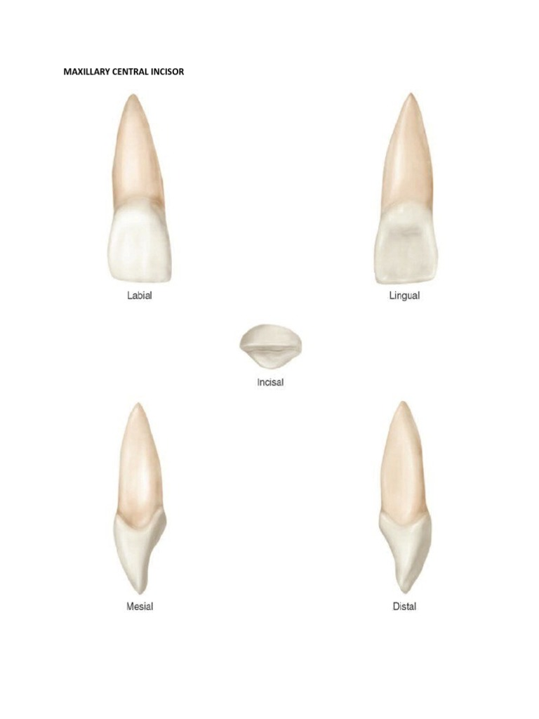 Dental Anatomy Permanent Teeth
