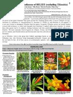 1004 Belize Bromeliaceae