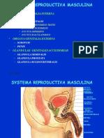 Histologi Sistem Urogenital Masculina