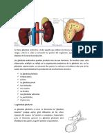 Glándulas endocrinas IBETH