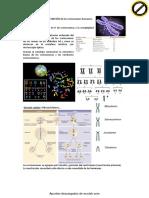 Wuolah-free-teoría - Cromosomas Humanos (1)