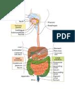 digestive system.docx