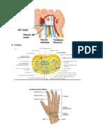 Monografía de Anatomía2.docx