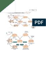 Mikrobio (siklus virus.docx
