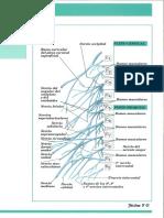 FICHA 7C Nervios Que Componen Los Flexos Cervical y Bronqui