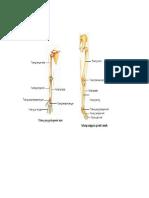 tulang lengan