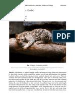 Leopardus_pardalis - Ocelot