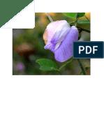 bunga kacang