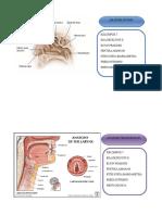 Anatomi Tht
