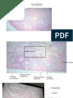 Microteca embriologia