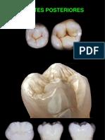 molares y premolares
