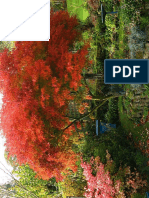 Acer Palmatum Dissec. Seiryu