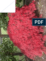 Acer Palmatum Diss. Ever Red