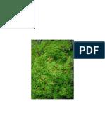 Acer palmatum dissectum 'Waterfall'.pdf
