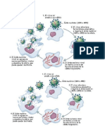 ciclo de un virus.docx