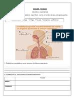 Sistema Respiratorio Dibujo Pulmones