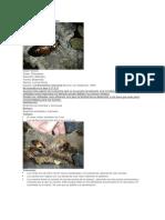 cucaracha verrugosa.pdf
