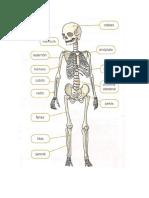 partes principales del   esqueleto.docx