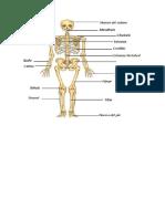 Partes Principales Del Esqueleto