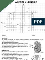 Crucigrama Renal y Urinario