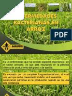 Bacterias en El Cultivo de Arroz_Agrotico_Web