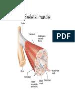 Muscle Histology -2016.pdf